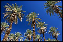 Date trees in Furnace Creek Oasis. Death Valley National Park ( color)