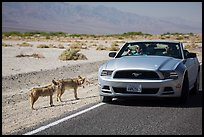 Tourists photograph coyotes from car. Death Valley National Park ( color)