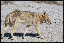 Coyote walking. Death Valley National Park ( color)