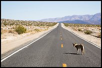 Coyote standing on desert road. Death Valley National Park ( color)