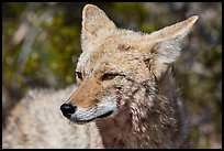 Close-up of coyote. Death Valley National Park ( color)
