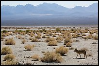Coyote walking on valley floor. Death Valley National Park ( color)