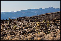 Slopes with Joshua Trees and Panamint Range. Death Valley National Park ( color)