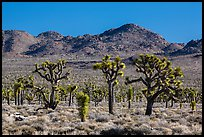 Joshua tree forest, Lee Flat. Death Valley National Park ( color)