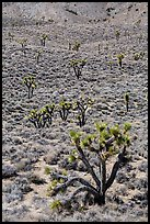 Joshua trees on hillside. Death Valley National Park ( color)