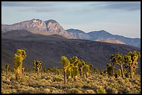 Joshua Trees and mountains, Lee Flat. Death Valley National Park ( color)