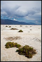 Shrubs growing on Salt Pan. Death Valley National Park ( color)