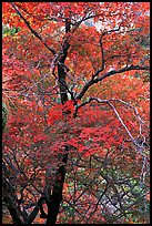 Tree with autumn foliage, Pine Spring Canyon. Guadalupe Mountains National Park ( color)