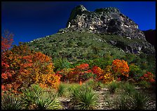 Trees in fall foliage and peak in McKitterick Canyon. Guadalupe Mountains National Park, Texas, USA.