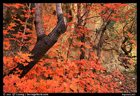 Bright orange leaves and cliff in McKittrick Canyon. Guadalupe Mountains National Park, Texas, USA.
