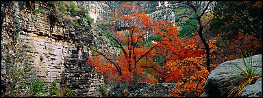 Maple with red autumn foliage in canyon. Guadalupe Mountains National Park (Panoramic color)