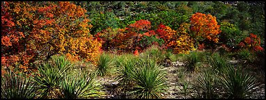 Desert plants and trees in fall foliage. Guadalupe Mountains National Park (Panoramic color)