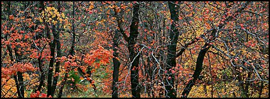 Trees with leaves in autumn colors. Guadalupe Mountains National Park (Panoramic color)