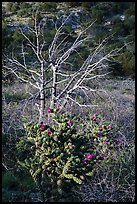 Cactus in bloom and bare tree. Guadalupe Mountains National Park ( color)