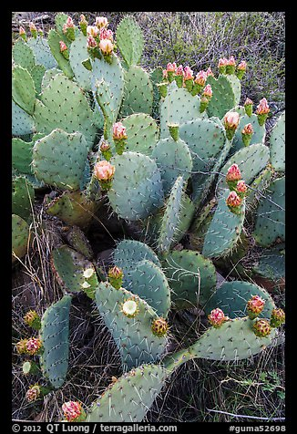 Blooming Prickly Pear cactus. Guadalupe Mountains National Park, Texas, USA.