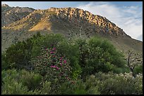 Cactus, trees, and Hunter Peak. Guadalupe Mountains National Park, Texas, USA. (color)