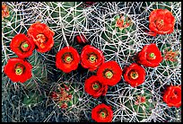 Claret Cup Cactus with flowers. Joshua Tree National Park, California, USA.
