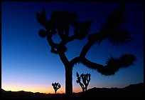 Joshua Trees silhouette at sunset. Joshua Tree National Park ( color)