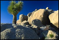 Joshua Tree and boulders. Joshua Tree National Park, California, USA. (color)