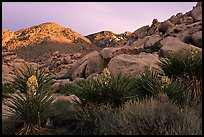 Yuccas and rocks in Rattlesnake Canyon. Joshua Tree National Park, California, USA. (color)