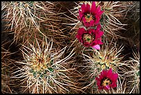 Engelmann Hedgehog cactus in bloom. Joshua Tree National Park, California, USA.