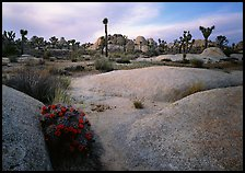 Claret Cup Cactus, rock slabs, and Joshua trees, sunset. Joshua Tree National Park, California, USA.