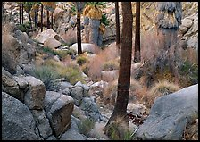 Lost Palm Oasis with California fan palm trees. Joshua Tree National Park, California, USA.