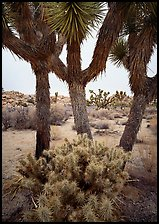 Cholla cactus at the base of Joshua Trees. Joshua Tree National Park, California, USA.