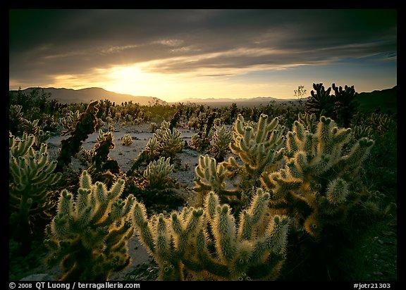 Picture photo cholla cactus garden sunrise joshua tree - Cholla cactus garden joshua tree ...