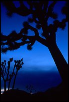 Joshua Trees silhouettes at dusk. Joshua Tree National Park ( color)
