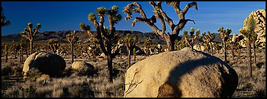High Mojave desert scenery with boulders and Joshua Trees. Joshua Tree  National Park (Panoramic color)