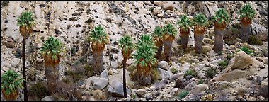Row of native California Fan Palm trees. Joshua Tree  National Park (Panoramic color)