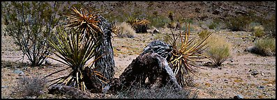 Desert plants. Joshua Tree  National Park (Panoramic color)