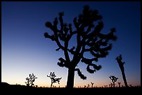 Joshua trees (Yucca brevifolia) at dawn. Joshua Tree National Park ( color)