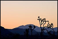Joshua trees and mountains, sunset. Joshua Tree National Park, California, USA.