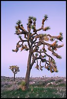 Joshua trees (scientific name: Yucca brevifolia), dusk. Joshua Tree National Park ( color)