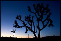 Joshua trees (Yucca brevifolia), sunset. Joshua Tree National Park ( color)