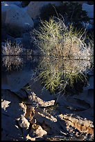 Willows and reflections, Barker Dam, early morning. Joshua Tree National Park, California, USA. (color)