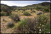 Wildflowers, volcanic hills, and Hexie Mountains. Joshua Tree National Park, California, USA.
