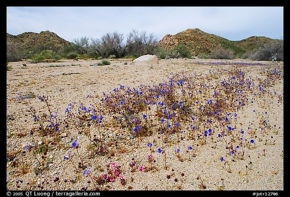 Cluster of blue Canterbury Bells in a sandy wash. Joshua Tree National Park, California, USA.