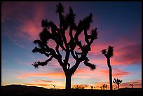 Joshua Trees silhouetted against colorful sunset. Joshua Tree National Park ( color)
