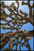 Branches of yucca palm (Yucca brevifolia). Joshua Tree National Park ( color)
