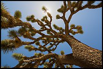 Tree yucca (Yucca brevifolia) and sun. Joshua Tree National Park ( color)