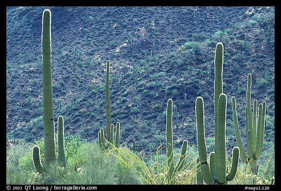 Saguaro cacti forest on hillside, West Unit. Saguaro National Park, Arizona, USA.