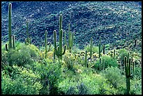 Saguaro cacti forest on hillside, Tucson Mountain District. Saguaro National Park, Arizona, USA.