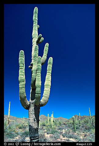 Giant Saguaro cactus (scientific name: Carnegiea gigantea), mid-day. Saguaro National Park, Arizona, USA.
