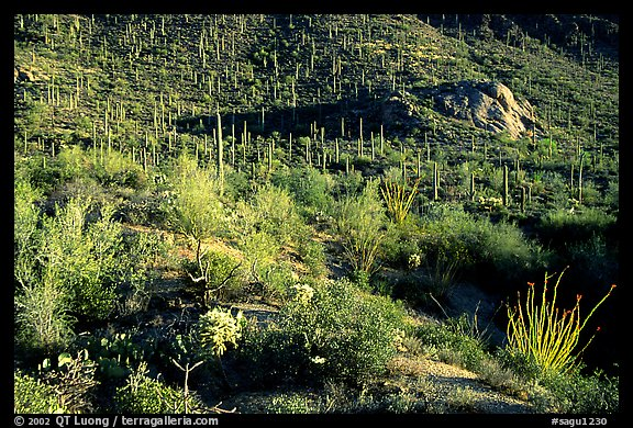 Saguaro cacti forest and occatillo on hillside, West Unit. Saguaro National Park (color)
