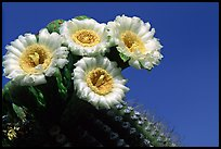 Saguaro cactus blooming. Saguaro National Park, Arizona, USA. (color)