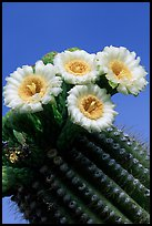 Saguaro cactus flowers against blue sky. Saguaro National Park, Arizona, USA. (color)