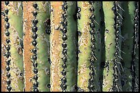 Saguaro cactus trunk close-up. Saguaro National Park, Arizona, USA.